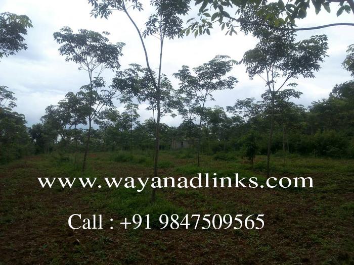 3 Acre Rubber Plantation Plot for sale at Kenichira, Wayanad