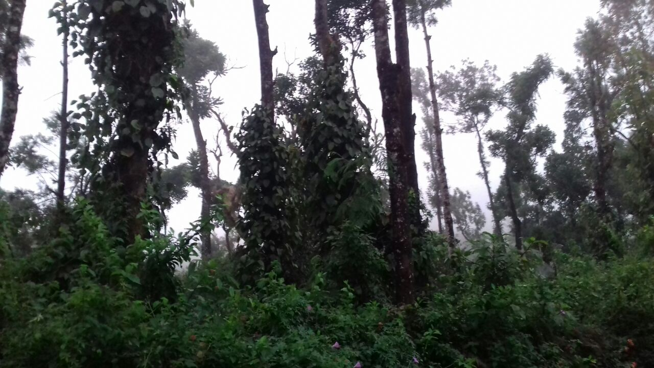 45 Acre Coffee plantation for sale in Madikeri, Coorg District Karanataka