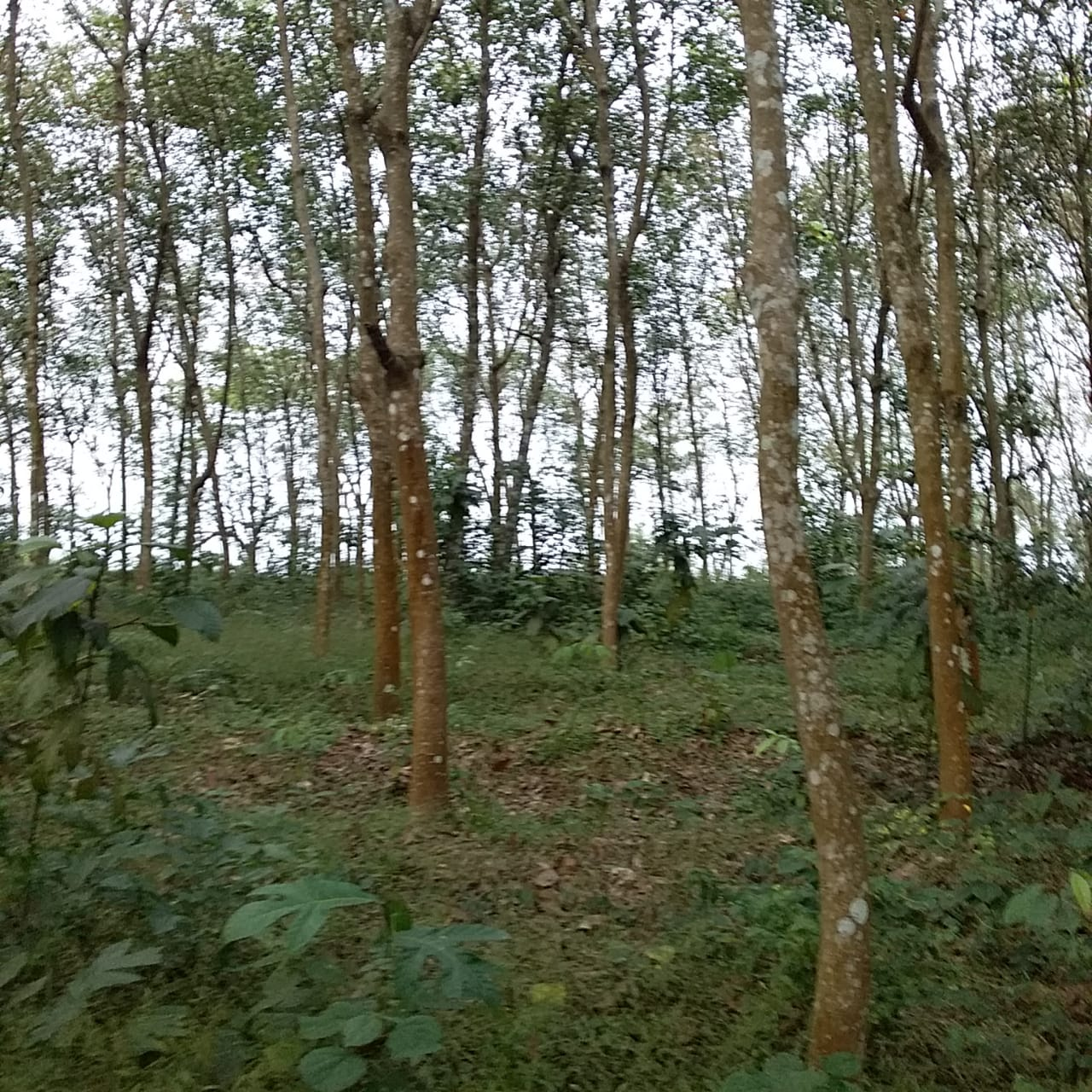 30 Cents of Land With Rubber Trees and Tar Road Frontage For Sale at Manthanam, Kunnamthanam
