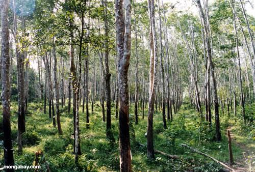 Rubber plantation for sale at Cherukole kozhencherry,Pathanamthitta.