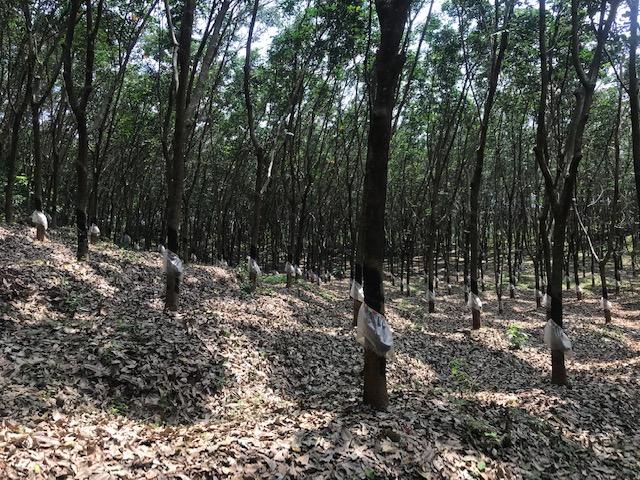 2.5 Acre Rubber (Purayidam Land) in Kannambra, Vadakkencherry
